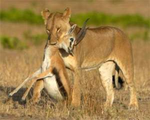 liongazelle